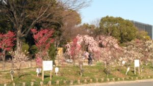 荒子川公園の梅の花
